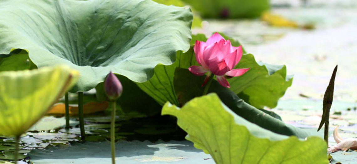 Mùa hoa sen ở hồ Quan Sơn
