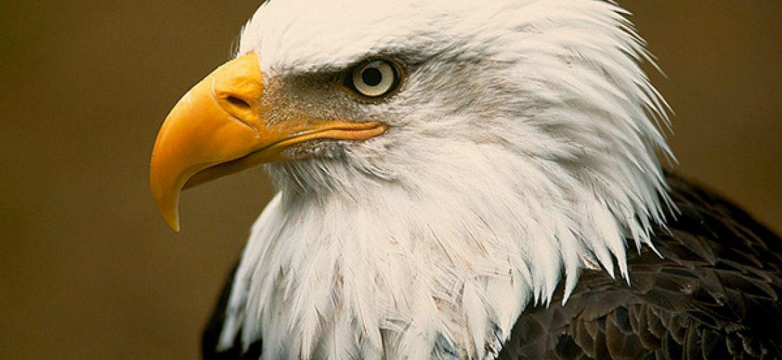 Tìm hiểu loài chim biểu tượng của nước Mỹ