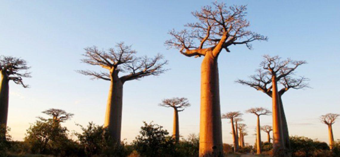 Bao báp khổng lồ ở Madagascar